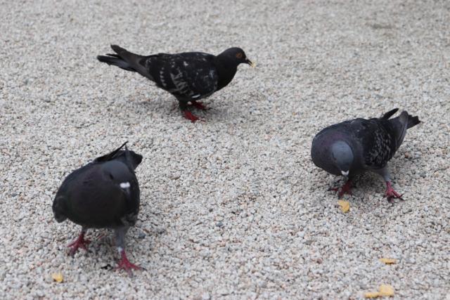 筥崎宮の鳩